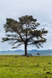 Tree Rhea Rio Grande do Sul Farm Royalty Free Stock Photo