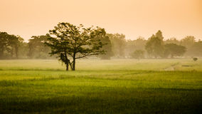 Tree in rice field with morning sky Stock Images