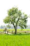 Tree in the rice field Stock Images