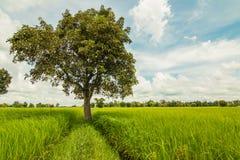 Tree and rice field Stock Photo