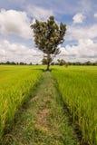 Tree and rice field Stock Photos