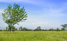 The tree on the rice field Stock Image
