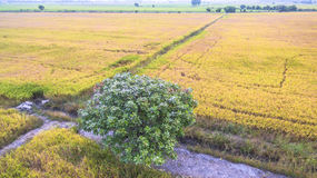 A tree in the rice fields Stock Photography