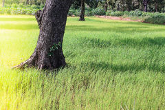 Tree in rice paddy Royalty Free Stock Photo