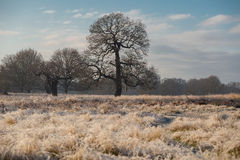 Tree in richmond park. Early January Royalty Free Stock Photography