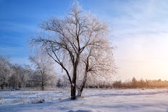 Tree in rime Stock Photography