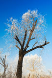 The tree with rime in blue sky Royalty Free Stock Photo