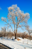 A tree with rime in blue sky Royalty Free Stock Images