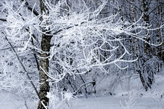 Tree with rime frost Stock Image