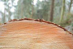 Tree-ring - close-up. Detail of a cut surface of a freshly felled spruce Royalty Free Stock Photo