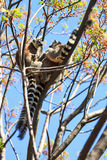 Tree ring-tailed lemurs. Ring-tailed Lemur (Lemur catta) in Anja reserve national park in Madagascar Stock Photography