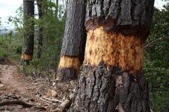 Tree ringing Royalty Free Stock Image