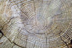 Tree rings 1. Detailed grain and textures from a felled tree trunk royalty free stock photo