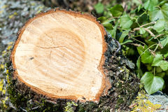 Tree rings. Cross section of a tree trunk showing growth rings Royalty Free Stock Photos
