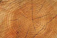 Tree Rings. Close-up view of golden pine tree rings, suitable as background Royalty Free Stock Photography