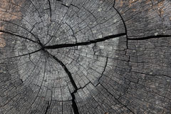 Tree rings. Are counted to determine the age of a tree Stock Photos