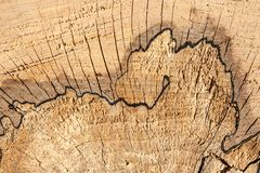 Tree rings and interesting wooden lines. Close up view of fresh cut tree abundant with interesting wooden lines and tree rings royalty free stock images