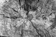 Tree rings old weathered wood texture. With the cross section of a cut log showing the concentric annual growth rings as a flat nature background. Black and Royalty Free Stock Photo