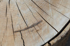 Tree rings on a wood section Royalty Free Stock Images