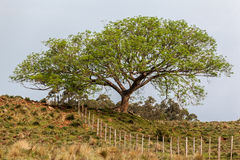 Tree Rio Grande do Sul Farm Royalty Free Stock Image