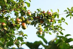 Tree with ripe apples royalty free stock photos