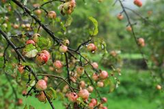 Tree with ripe apples stock images