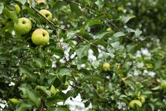 Tree with ripe apples stock image