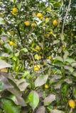 Tree with ripe lemons Stock Image