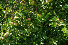 Tree with Ripening Apples. Branches of near ripe apples in southern Michigan Royalty Free Stock Photos