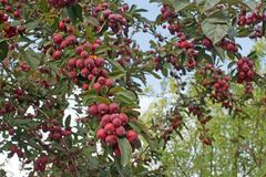 Tree with ripening cherry apples Royalty Free Stock Photos