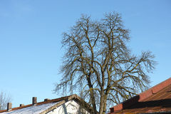 Tree in the city. Tree rising above the sourrounding buildings Royalty Free Stock Photo