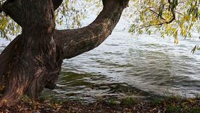 The tree on river bank. The tree on the river bank stock video footage