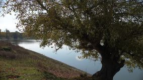 The tree on river bank. Solitary tree on the lake stock footage
