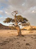 Tree in the river bed of a tributary of the Swakop River, Namibia Stock Photography