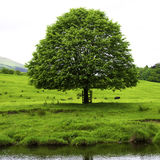 Tree on River Hodder. Tree on the banks of the River Hodder in the Forest of Bowland near Clitheroe Lancashire Stock Image