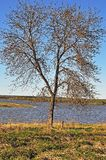 Tree at riverbank Stock Photography