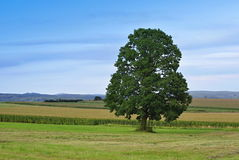 Tree. Robust tree in a meadow near field Stock Image