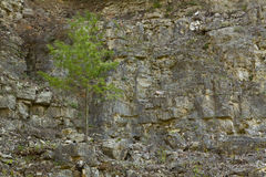Tree In Rock Royalty Free Stock Image