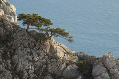 Tree on a rock. Lonely tree on a rock, a dark blue homogeneous background (the sea and the sky Royalty Free Stock Images