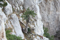 Tree in rock. Crimea. Stock Photography