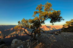 Tree on the rock in the Grand Canyon on a sunset Stock Photography