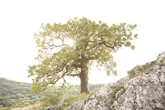Tree on the rock Royalty Free Stock Photography