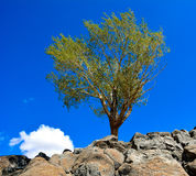Tree on the Rocks Royalty Free Stock Image