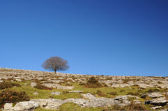 Tree in a rocky field with blue sky Stock Image