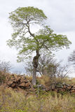 Tree on a rocky ridge Stock Images