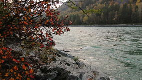 Tree on the rocky shore of a Katun river in Altay. Tree on the rocky shore of a mountain river Katun in Altay, Russia stock footage