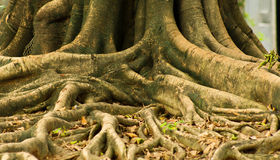 TREE ROOT. Close-up view of a trees root coming from the ground royalty free stock photo