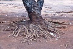 TREE ROOT. Close-up view of a trees root coming from the ground stock photo