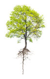 Tree with a root. On a white background Royalty Free Stock Photo