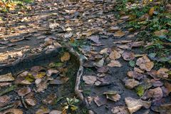 Tree root above fallen leaves. Fallen leaves covering tree roots and a path leading through forest Royalty Free Stock Photos